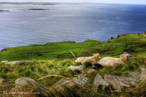 Some cows enjoying the views