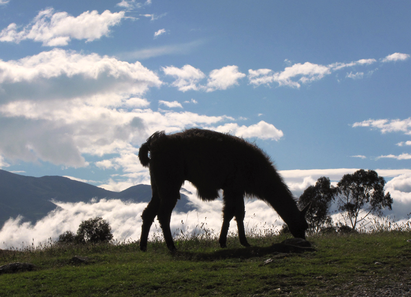 Silhouette photo from Ordinary Traveler for the Travel Photo Roulette #30 Travel Photo Roulette: Silhouette of a llama having lunch from Ingapirca, Ecuador. Copyright by HeckticTravels.com