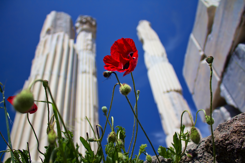 Poppies in Pergamon
