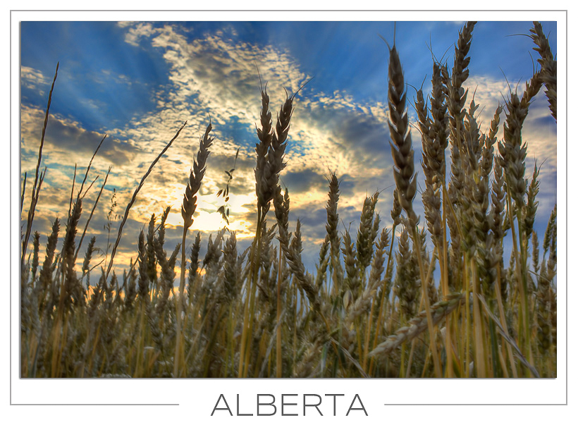 Alberta Wheat