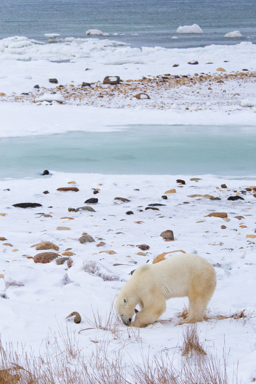 Hungry Polar Bear