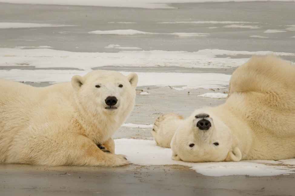 Brother Sister Polar Bears Posing