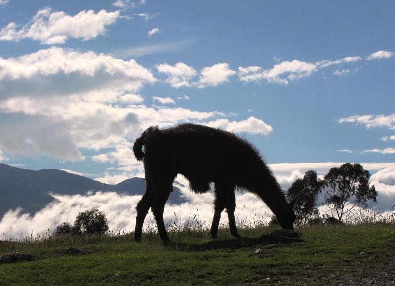 Ingapirca Llama