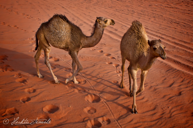 Baby camels, Wadi Rum, Jordan