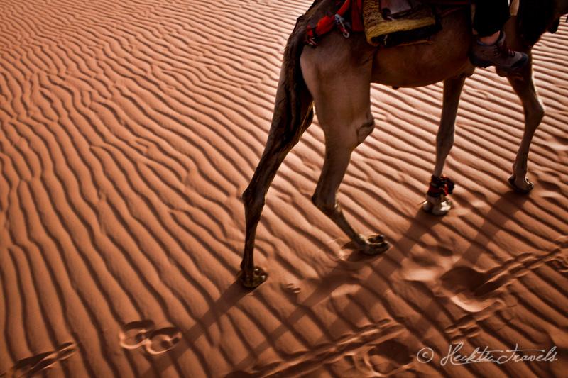 Camel, Wadi Rum, Jordan