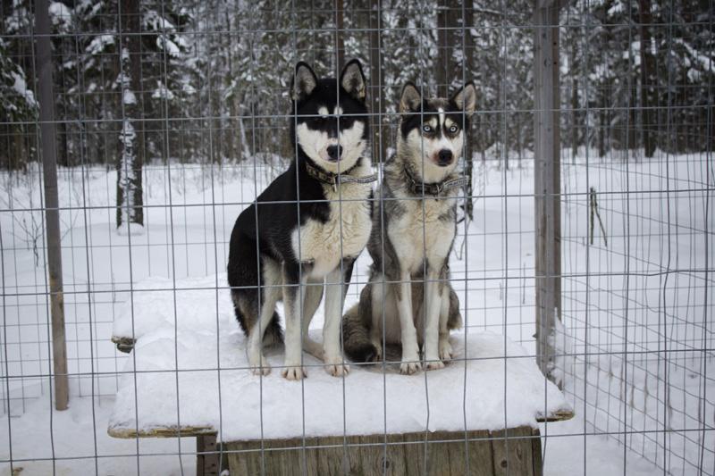 Finland Dogsledding-005