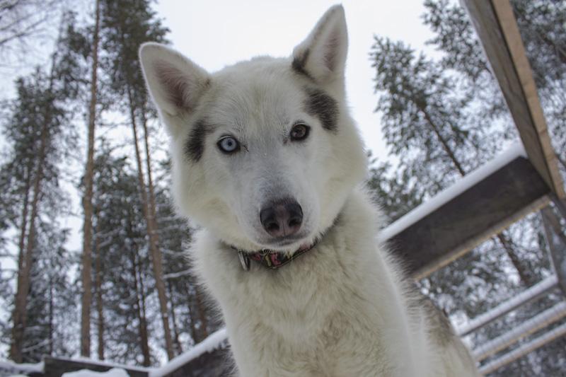 Finland Dogsledding-006