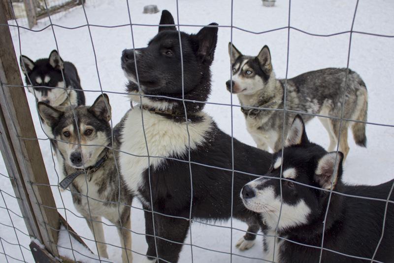 Finland Dogsledding-008
