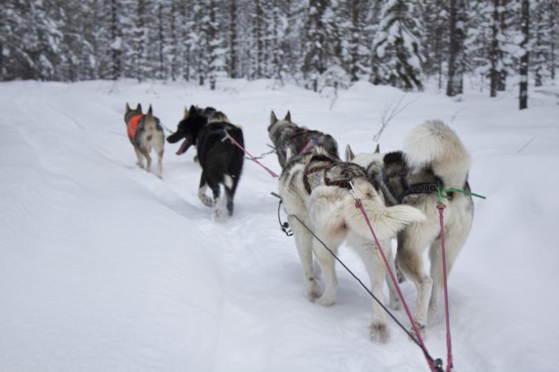 Finland Dogsledding-010