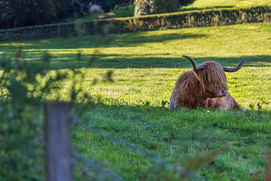 Pitcairlie Apartments - Highland Cow