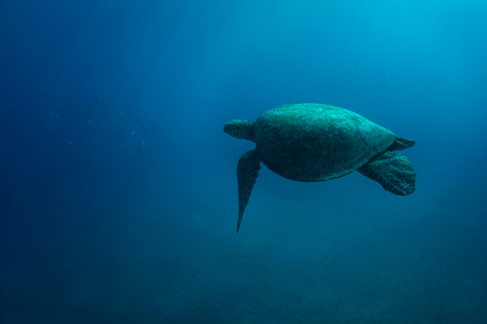 Maui-Sea-Turtle