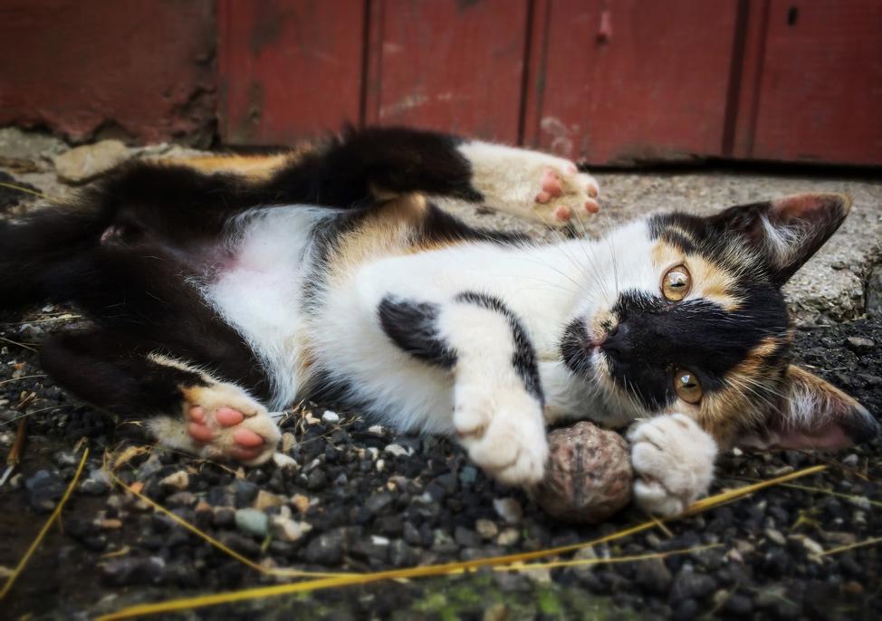 Sinca Noua Kitty