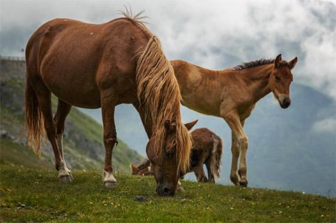 Transfagarasan horses