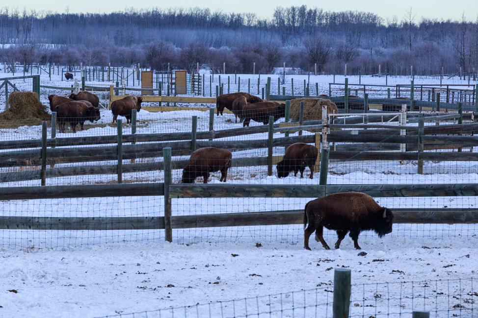 Bison of Elk Island National Park