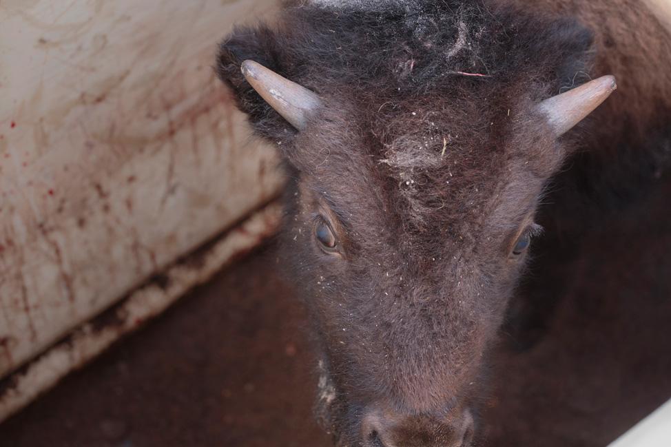 Elk Island National Park Baby Bison