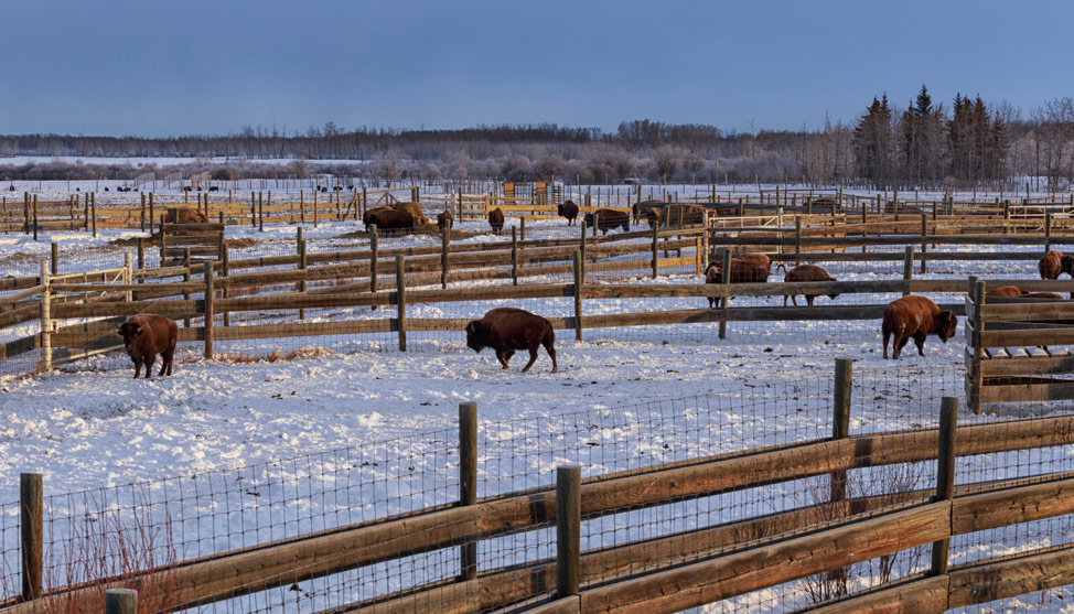 From Extinction to Alberta: the Bison's Tale thumbnail