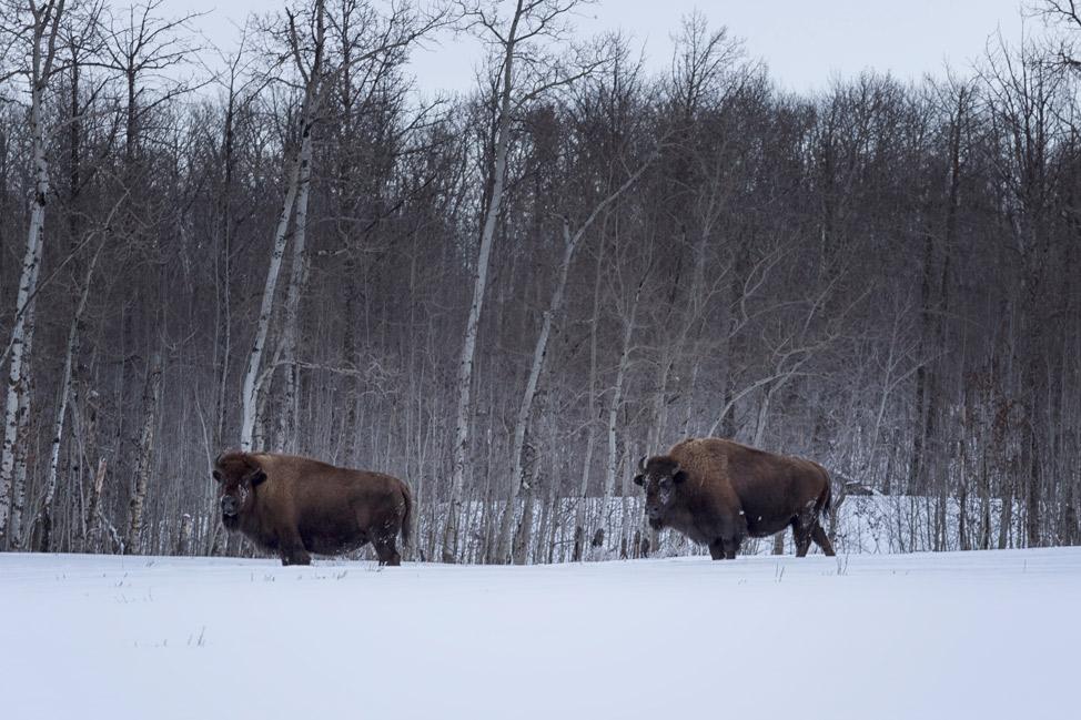 Free Range Bison Elk Island