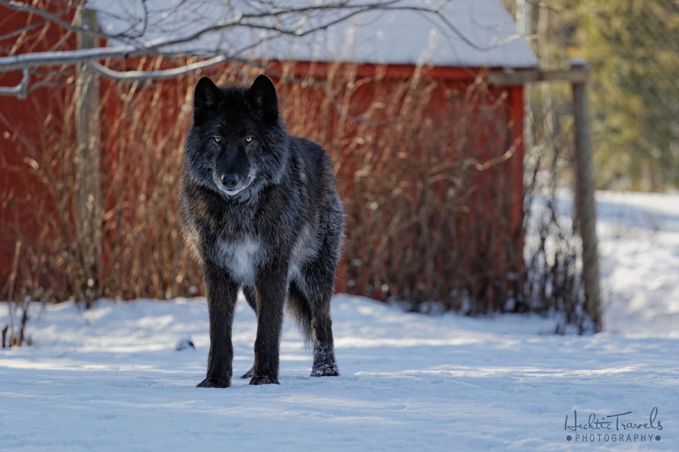 Yamnuska Wolfdog Sanctuary 1