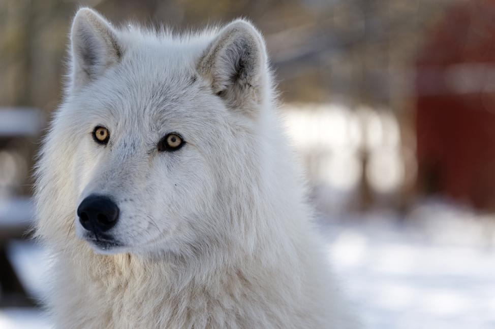 Yamnuska-Wolfdog-Sanctuary-4