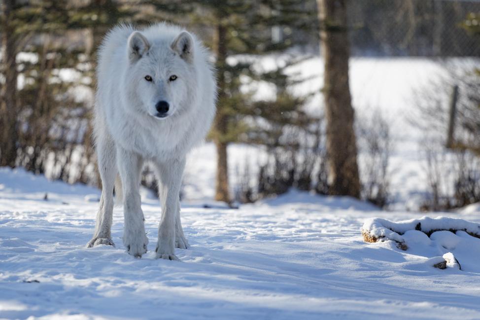 Yamnuska-Wolfdog-Sanctuary-5