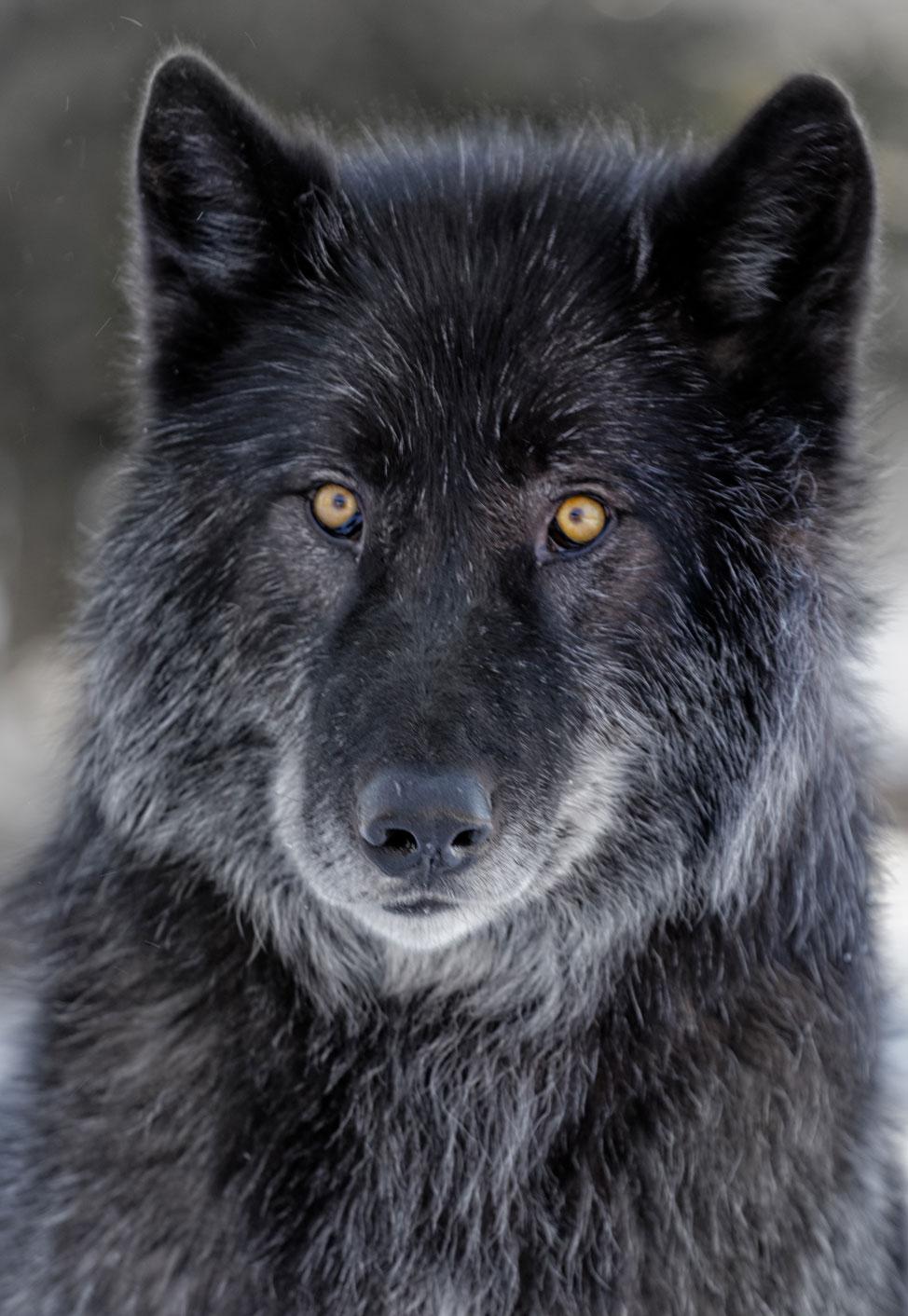 Yamnuska-Wolfdog-Sanctuary-7