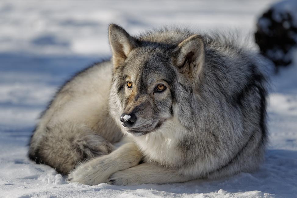 Yamnuska-Wolfdog-Sanctuary-8