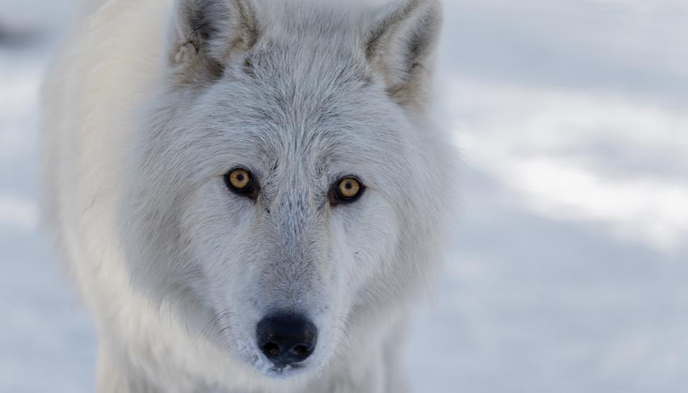 A Wolfdog's Home thumbnail