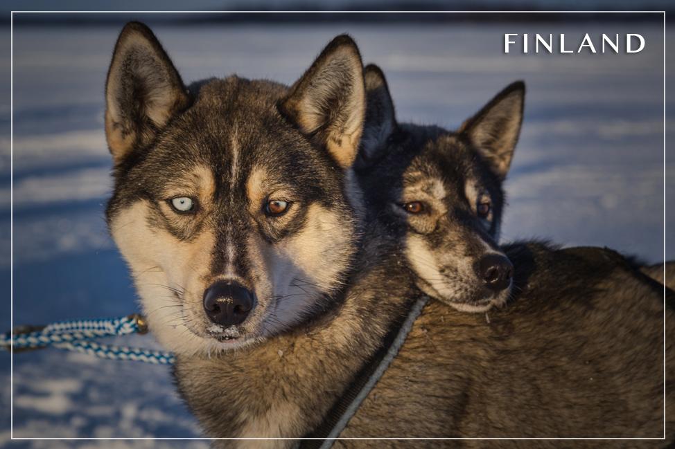 Finland Huskies