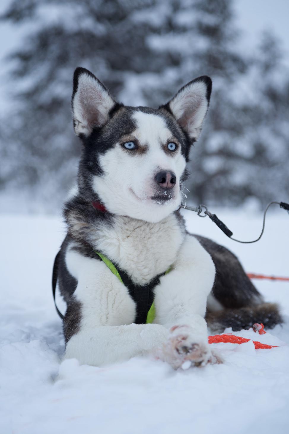 Hetta Huskies Posing