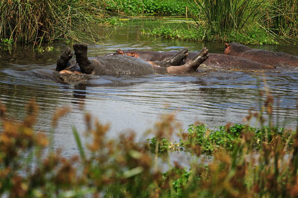 Hippo Rolls