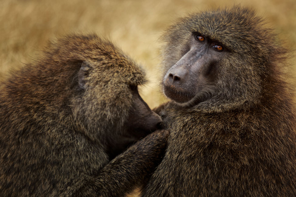 Grooming Baboons