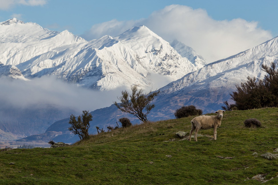 Sheep and Mountains