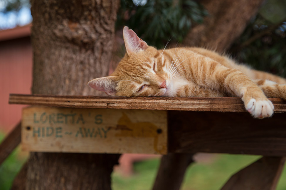 Sleepy Time - Lanai Cat Sanctuary