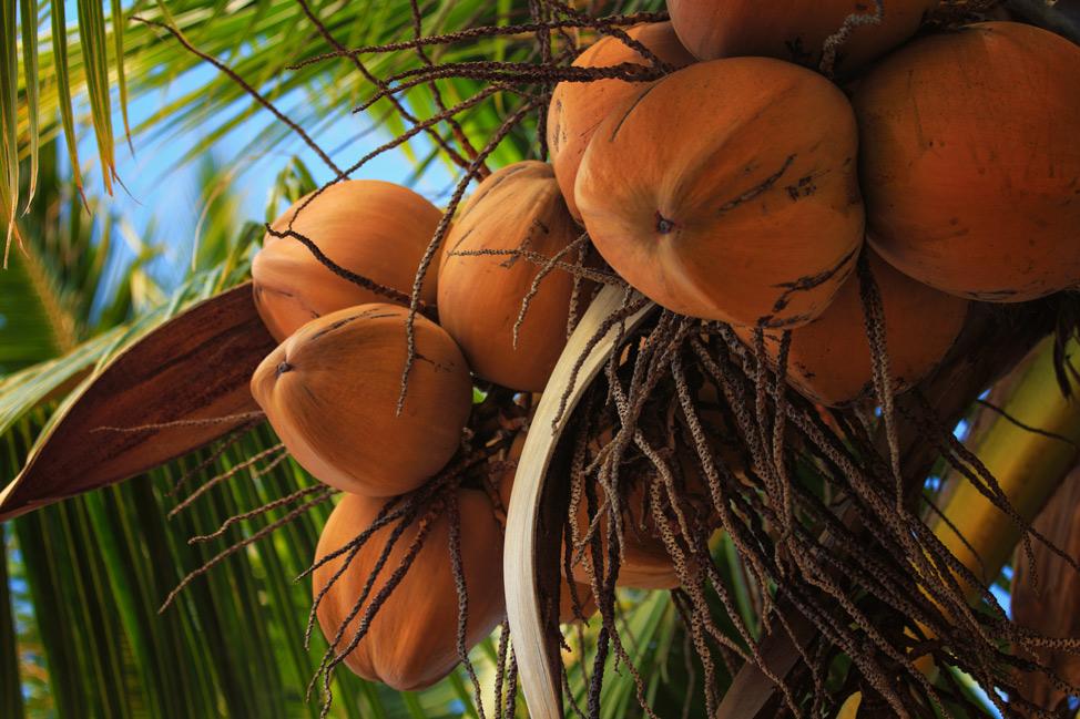 Molokai Coconuts