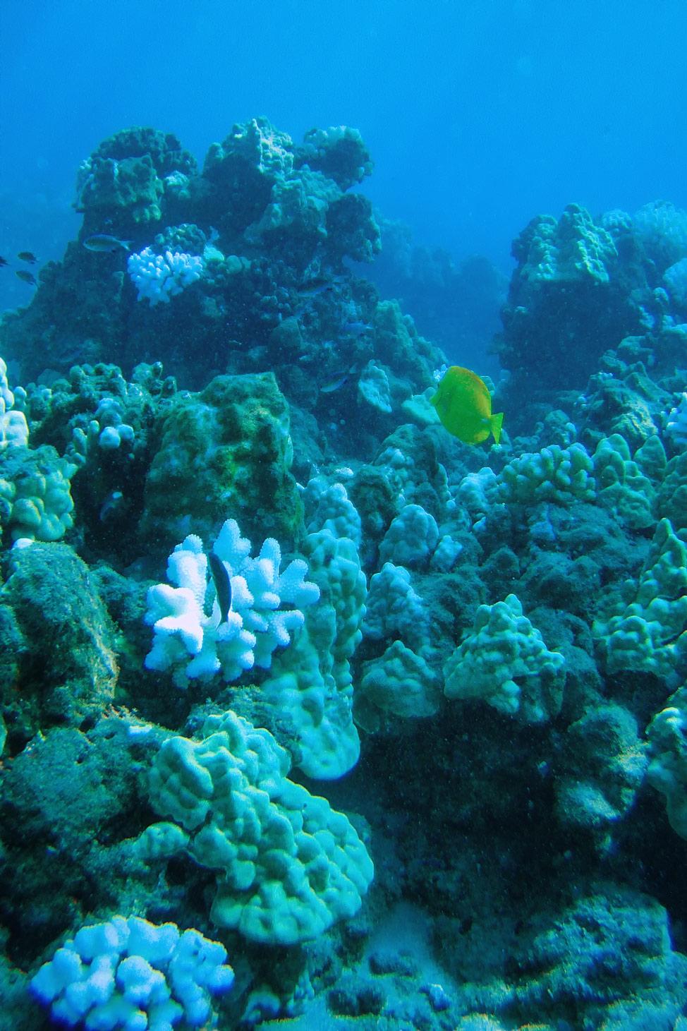 Coral off Lanai
