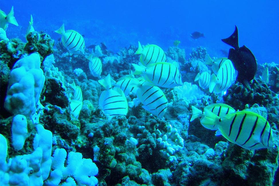 Lanai Coral