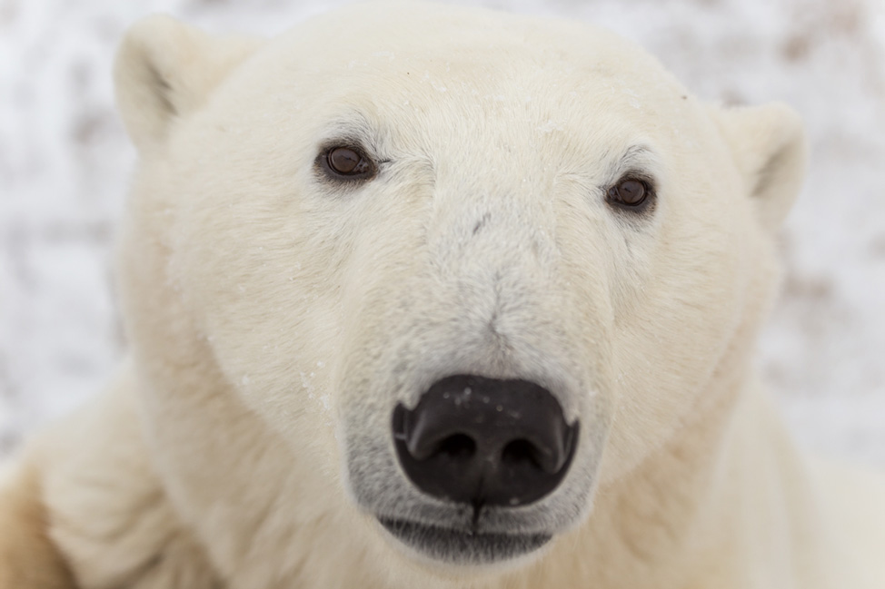 Up-Close-Polar-Bear