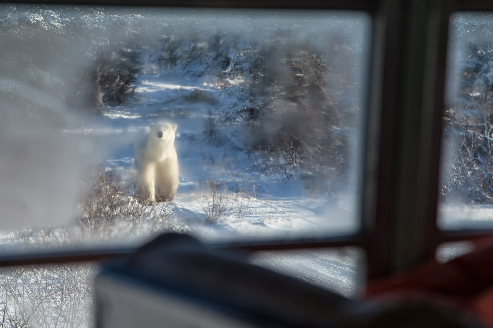 Polar Bear Visitor - Churchill, Manitoba