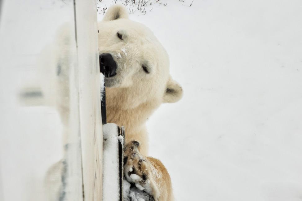 Polar Bear Buggy