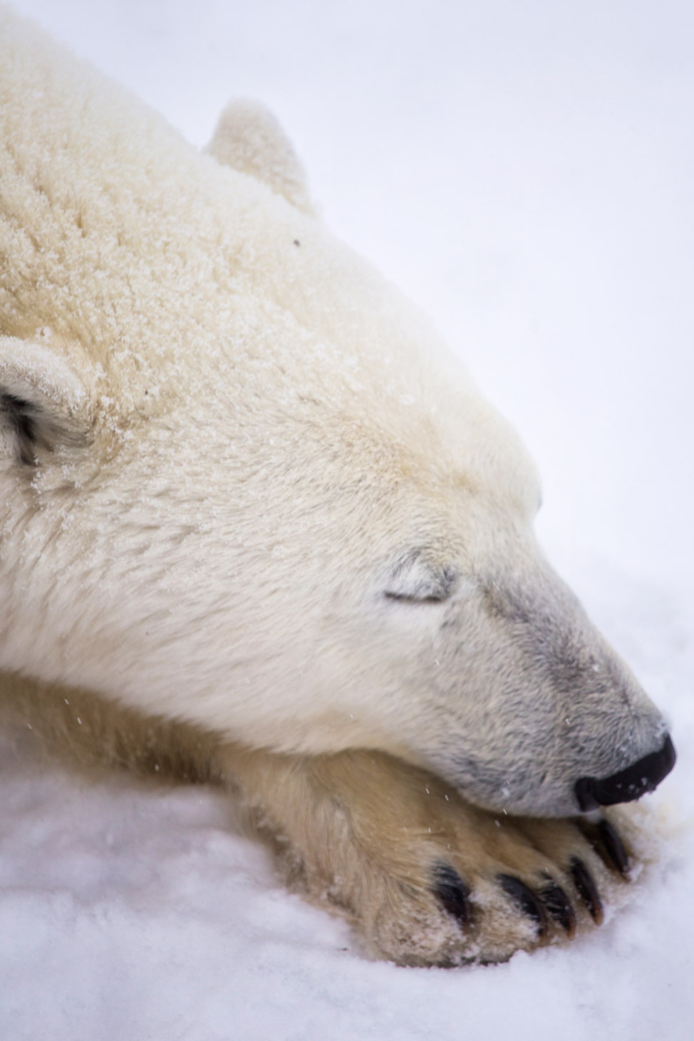 Polar Bear Nap