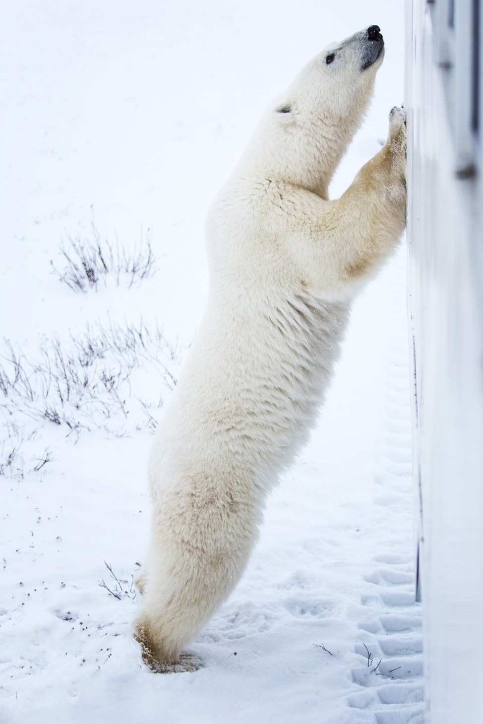Curious Polar Bear