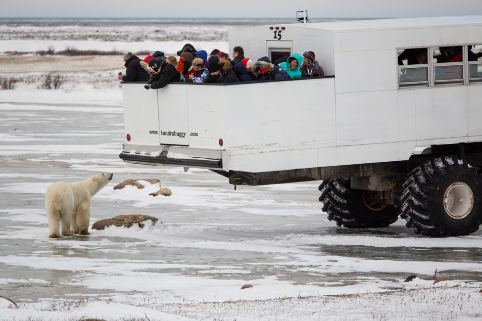 Polar Bear Smelling Tourists