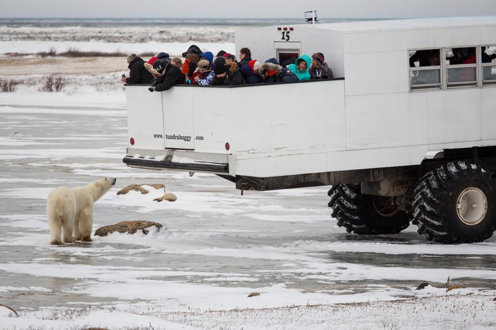 Polar Bear Smelling Tourists
