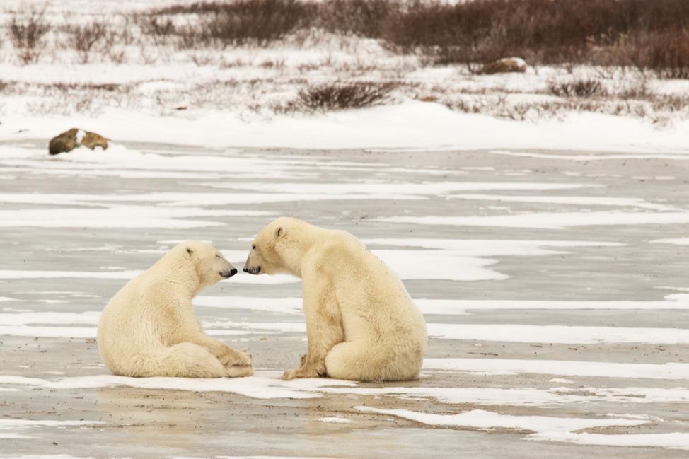 Polar Bear Nose Touch