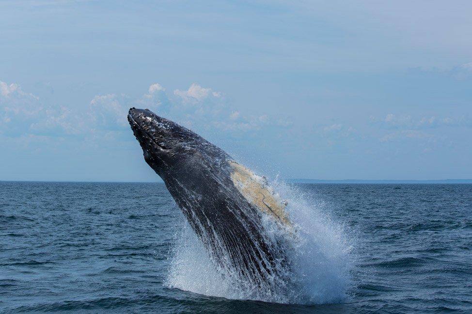 Grand Manan Whale Breach