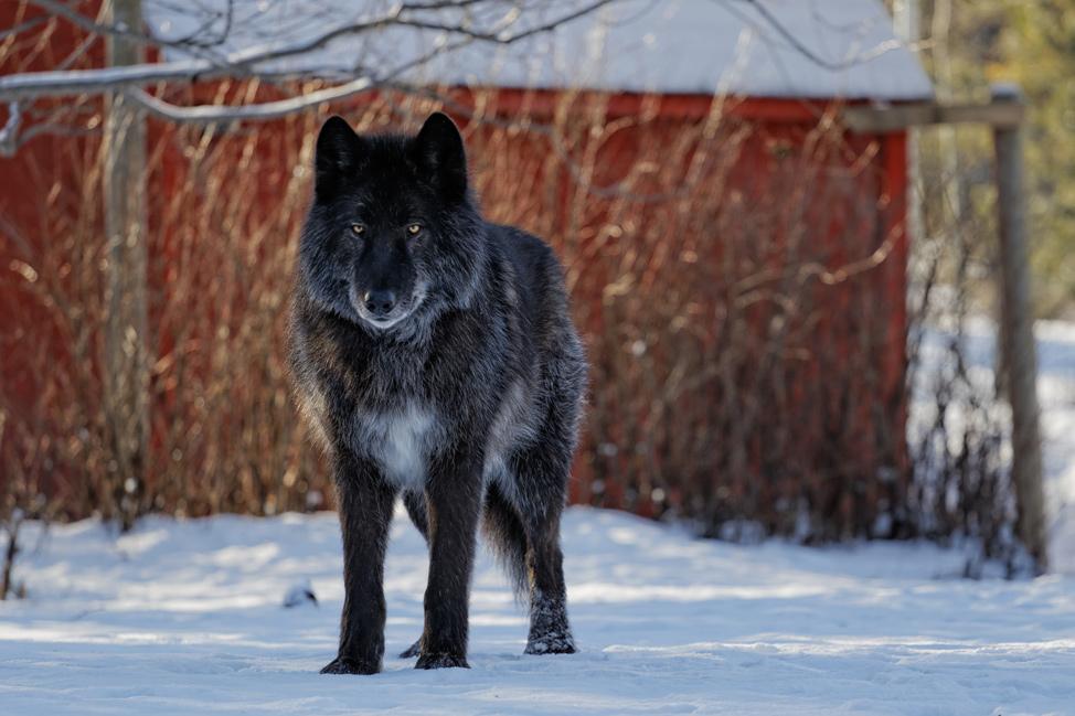 Zeus Yamnuska Wolfdog Sanctuary